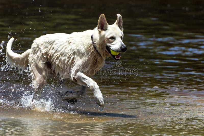 Vit lycklig hund som spelar och simmar p? en flod, p? den Armacao stranden, Florianopolis, Brasilien royaltyfri bild