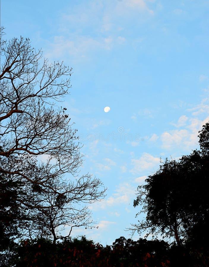 Vit måne i blå himmel med konturer av träd - skönhet av gryning royaltyfri fotografi