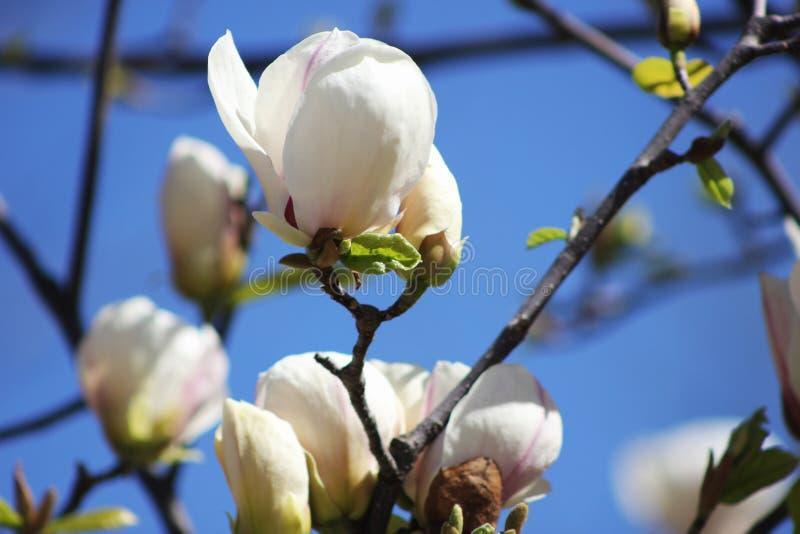 Vit magnolia royaltyfri fotografi
