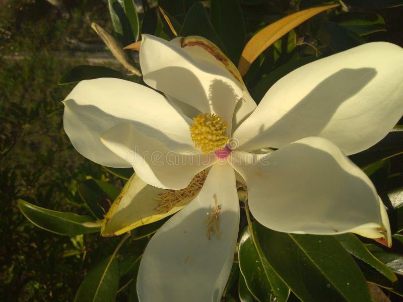 Vit magnoliablomma i aftonsol arkivfoton