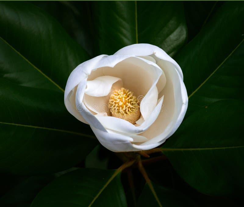 Vit magnoliablommacloseup med stamens och carpels mot ett mörker - grön bakgrund royaltyfri bild