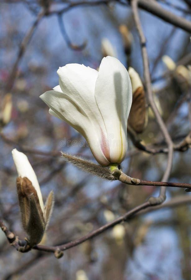 Vit magnoliafilial med våren som blommar blommor på suddig bakgrund royaltyfria foton