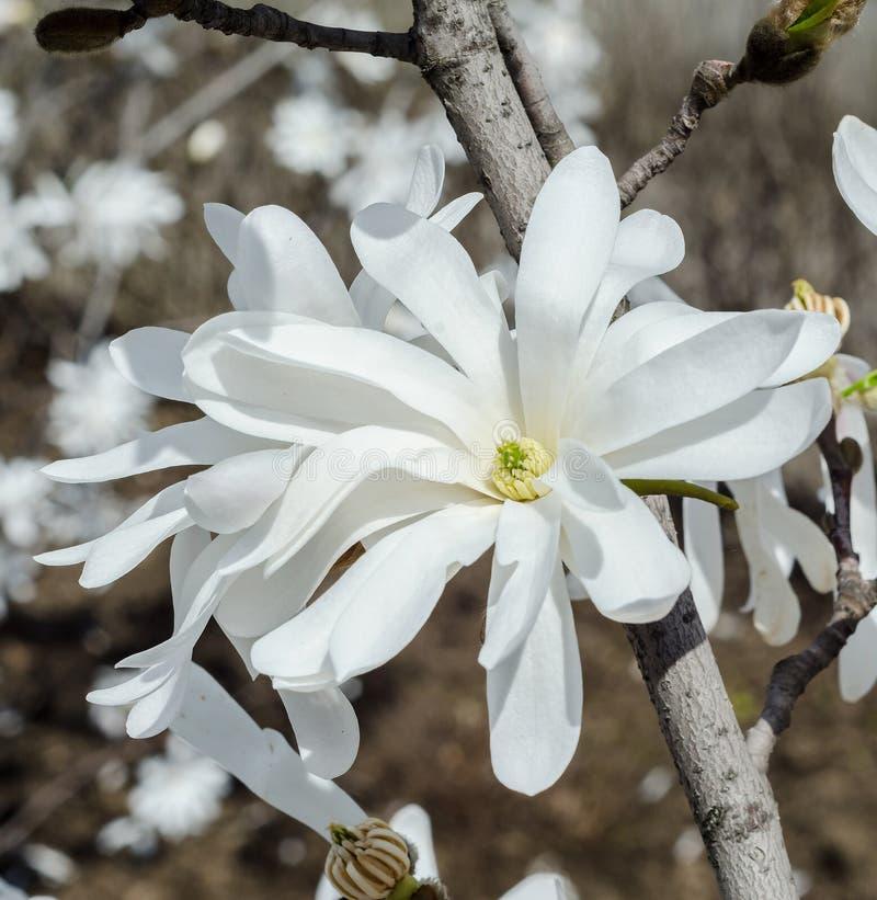 Vit magnoliafilialblomma, slut upp, isolerad blom- bakgrund arkivfoton