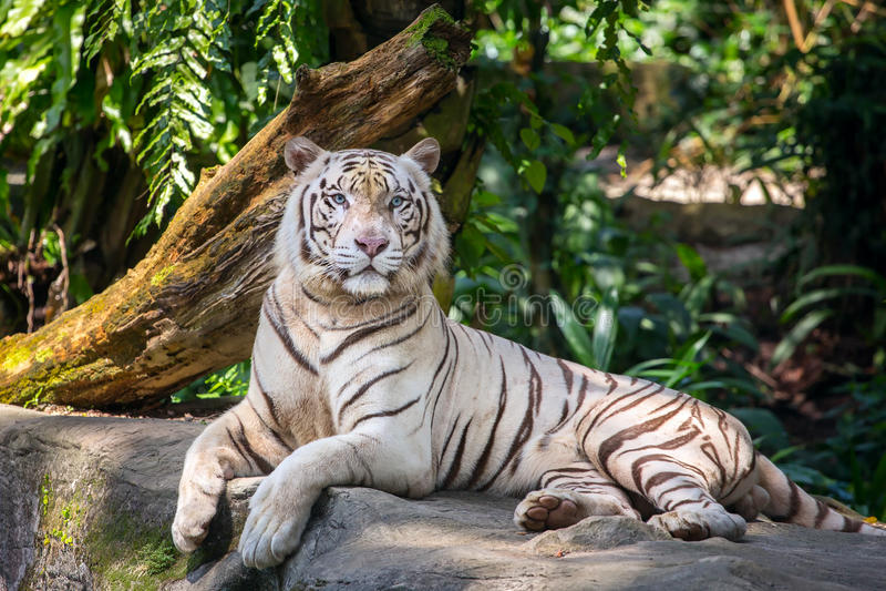 Vit manlig tiger i zoo arkivfoton