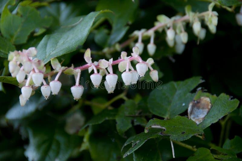 Vit med rosa blomma Salal - Gaultheriashallon - växt royaltyfria bilder