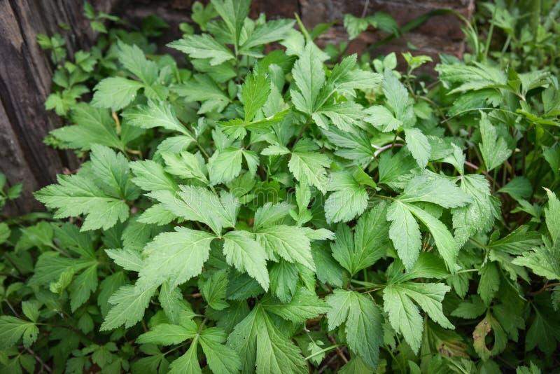 Vit Mugwort - Artemisialactiflora royaltyfri bild