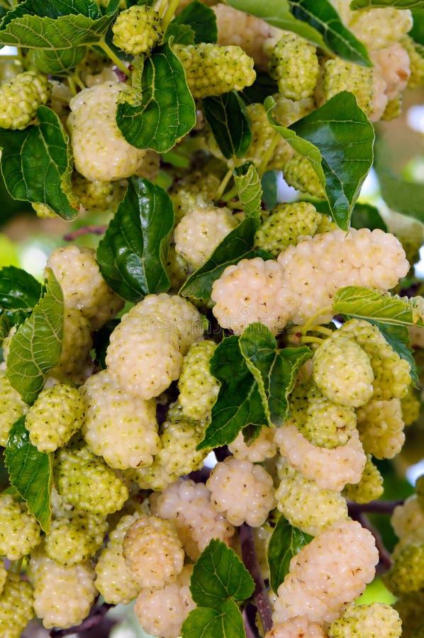 Vit mullbärsträd (Morusalbum) royaltyfri fotografi