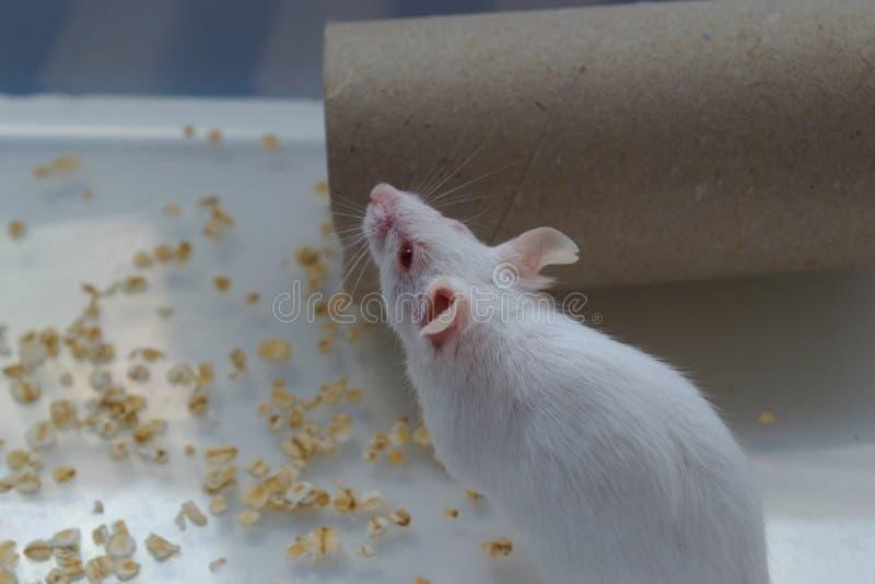Vit mus i den vita asken fotografering för bildbyråer