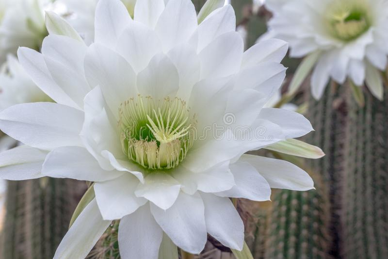 Vit Nat kaktusblommacloseup - kaktus för Cereus för blomma för natt - royaltyfria bilder