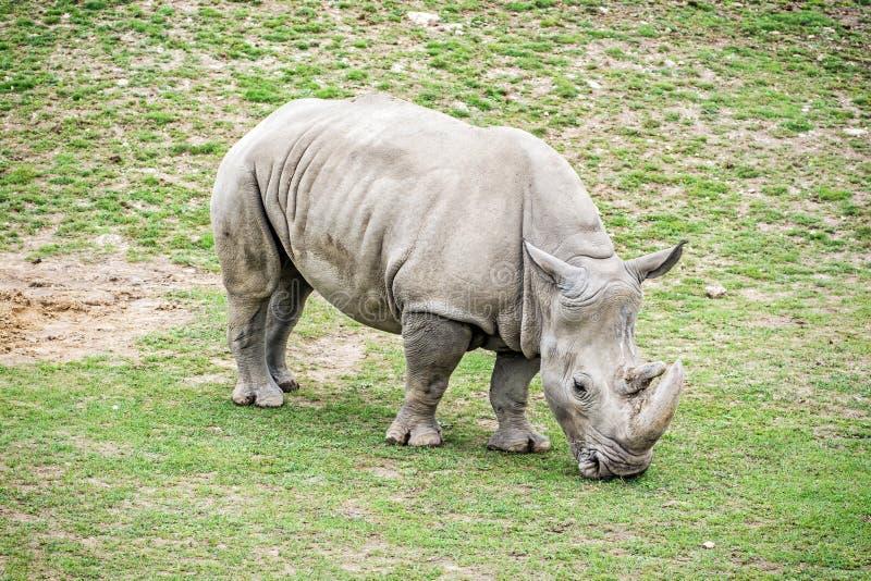 Vit noshörning - Ceratotheriumsimumsimum royaltyfri foto