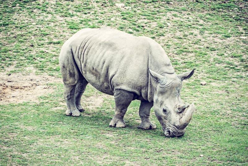 Vit noshörning - Ceratotheriumsimumsimum royaltyfri bild