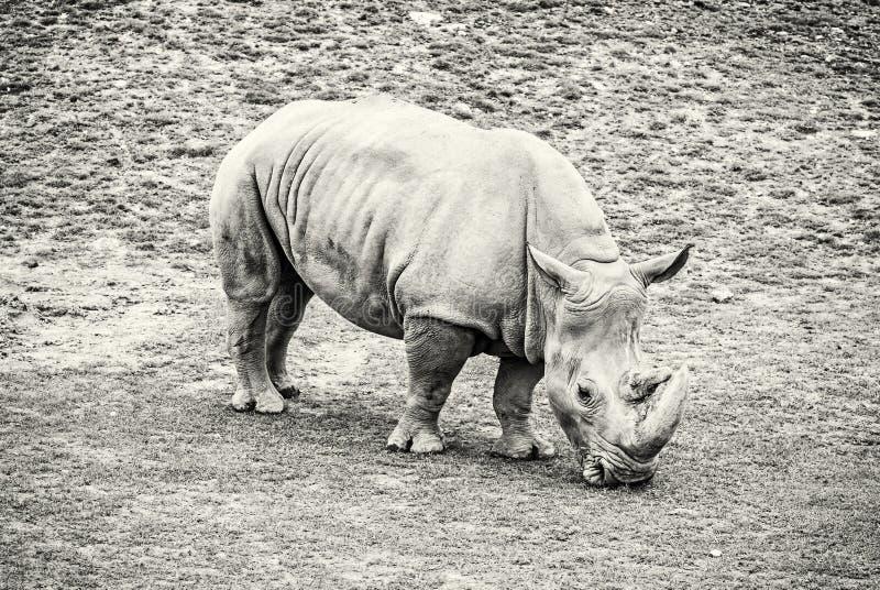 Vit noshörning - Ceratotheriumsimumsimum som är akromatisk arkivfoto