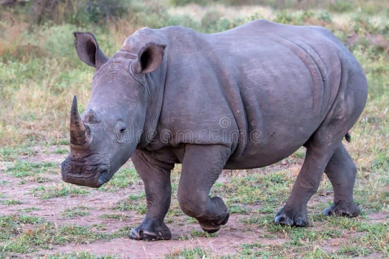 Vit noshörning i den Kruger nationalparken arkivfoto