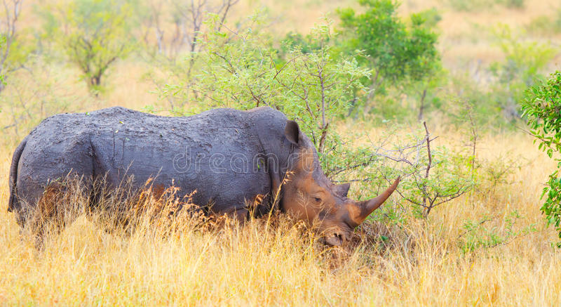 Vit noshörning, Kruger nationalpark, Sydafrika royaltyfria bilder