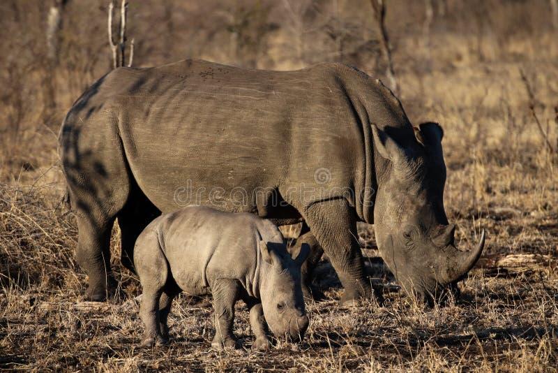 Vit noshörning och att behandla som ett barn noshörning arkivbilder