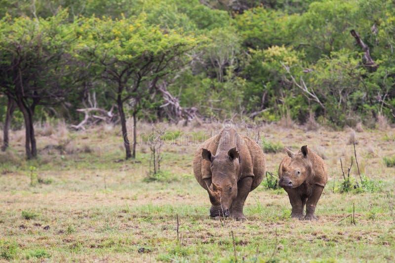 Vit noshörning och kalv i Sydafrika arkivfoton