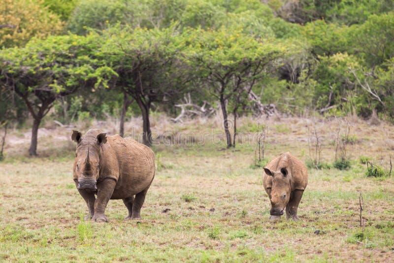 Vit noshörning och kalv Sydafrika royaltyfri fotografi