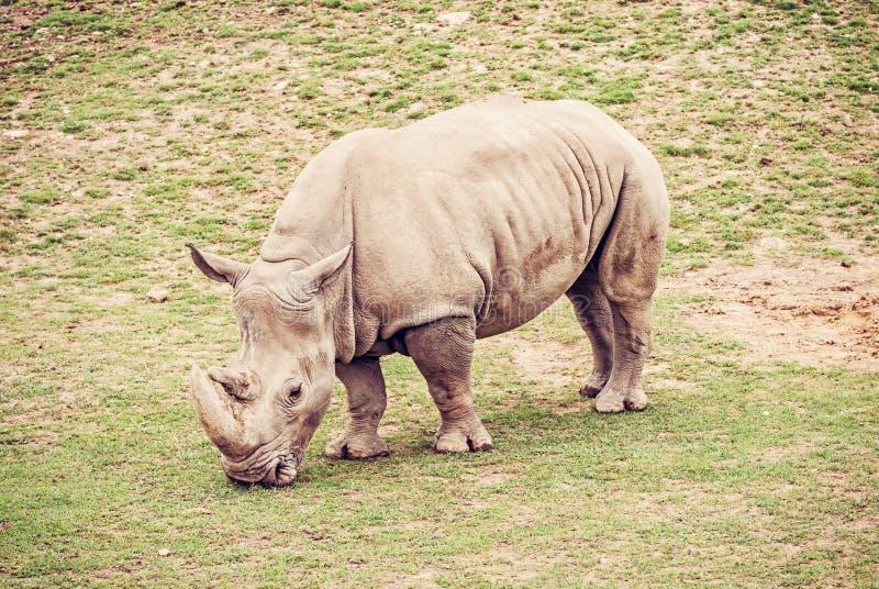 Vit noshörning, rött filter arkivbild