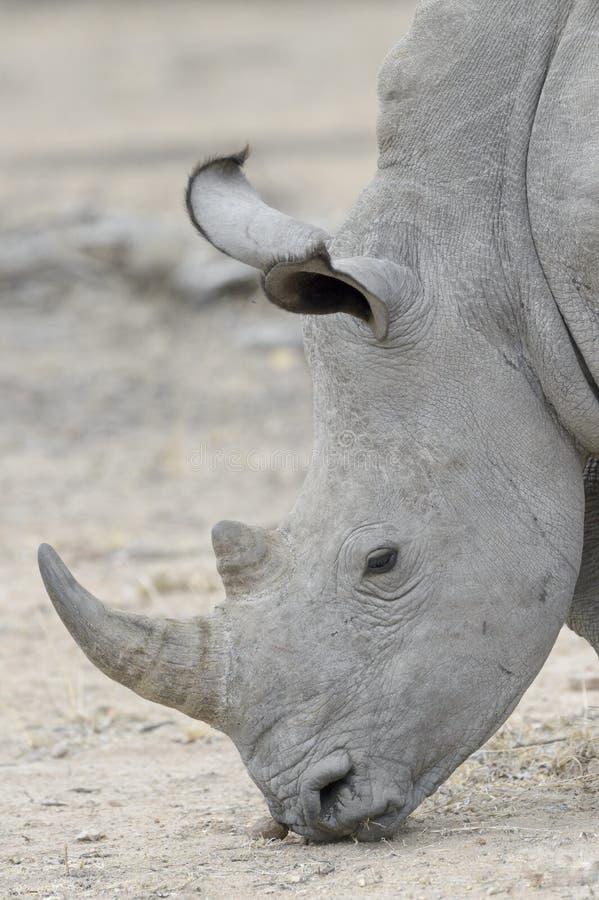 Vit noshörning som äter, sidosikt royaltyfria foton