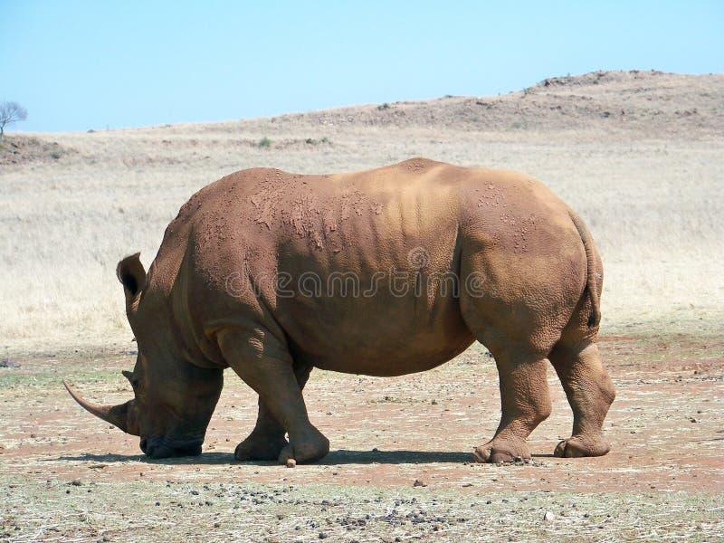 Vit noshörning som betar på en matningsstation fotografering för bildbyråer