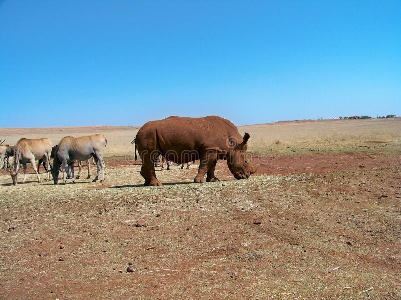 Vit noshörning som betar på en matningsstation med eland arkivbilder