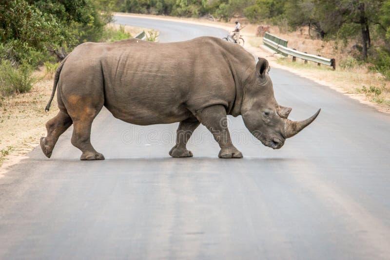 Vit noshörning som korsar vägen i den Kruger nationalparken, söder fotografering för bildbyråer