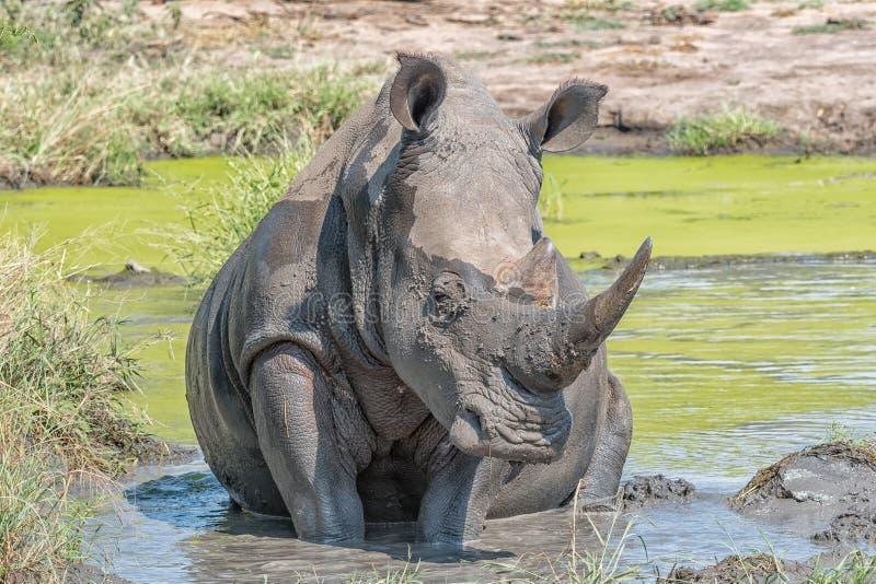 Vit noshörning som tar ett gyttjebad arkivbild