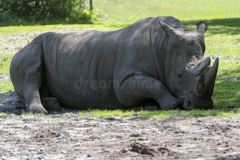 Vit noshörning som vilar på en grassfield arkivbilder