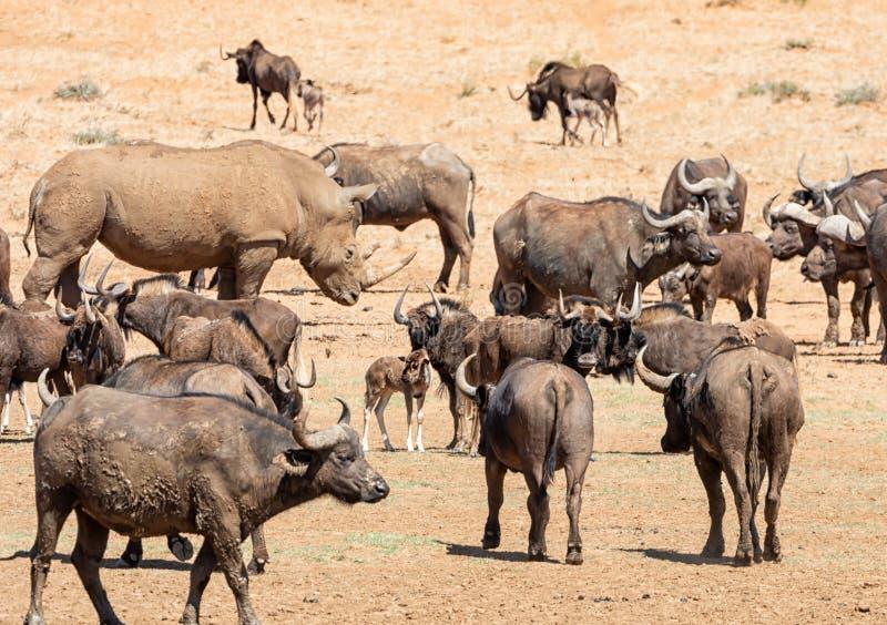 Vit noshörning, svart gnu och uddebuffel arkivfoton