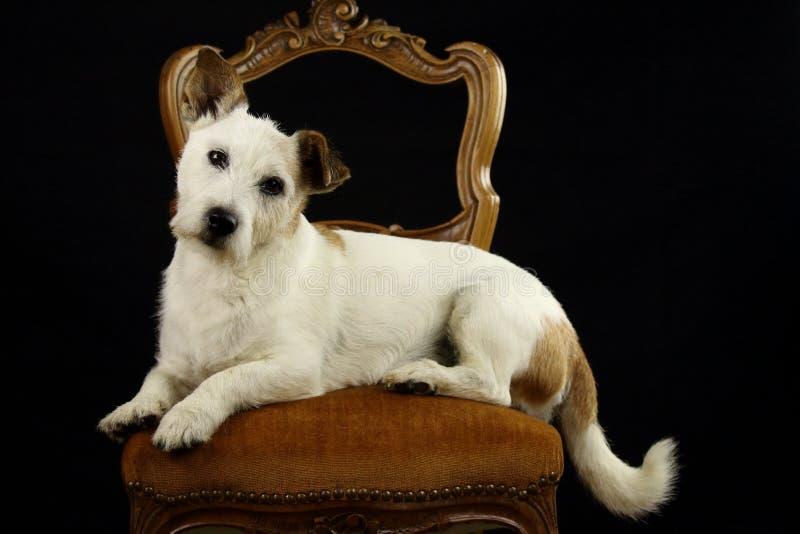 Vit och brun Jack Russell hund som lägger på en plats fotografering för bildbyråer