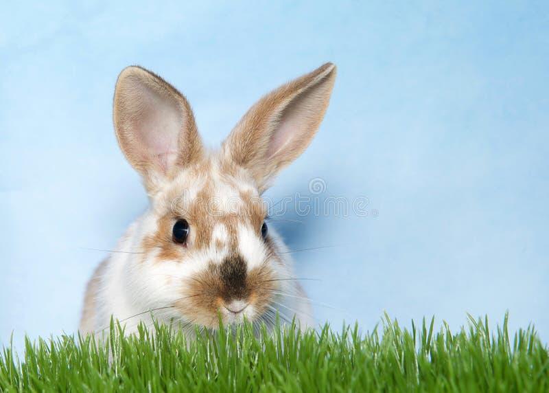 Vit och brun prickig kanin i gräs arkivbilder