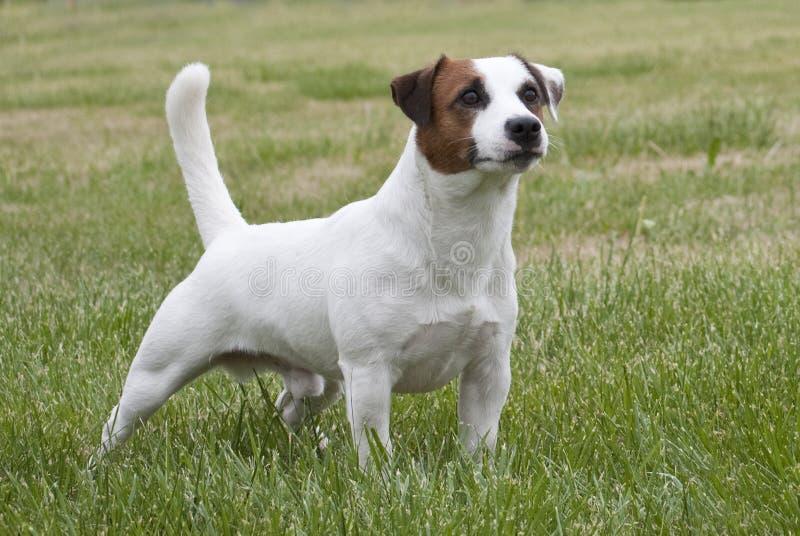 Vit- och bruntJack Russell terrier arkivfoton