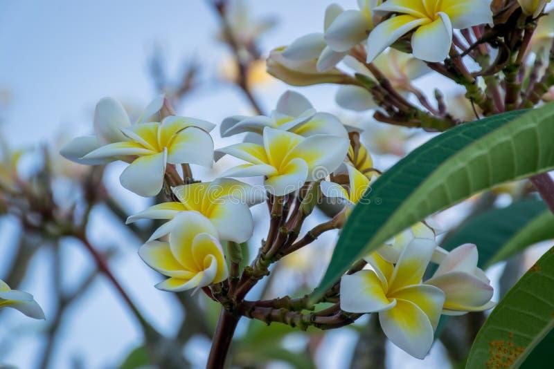 Vit och guling blommar på ett träd arkivfoto