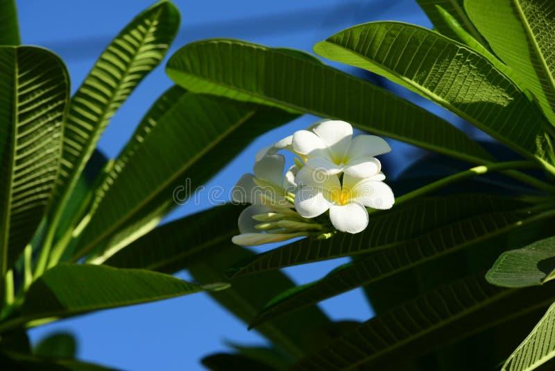 Vit- och gulingfrangipanien blommar med sidor royaltyfri bild
