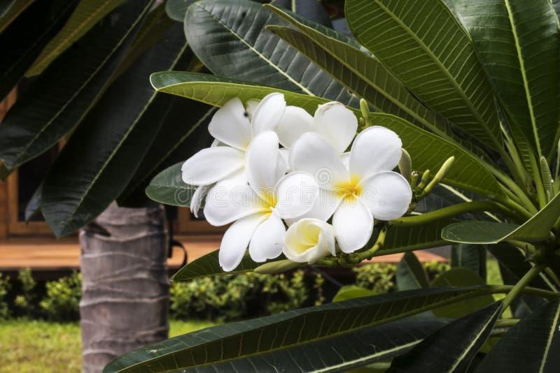 Vit- och gulingfrangipanien blommar med sidor i bakgrund royaltyfria bilder