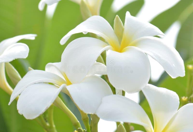 Vit- och gulingfrangipanien blommar med sidor i bakgrund royaltyfri bild