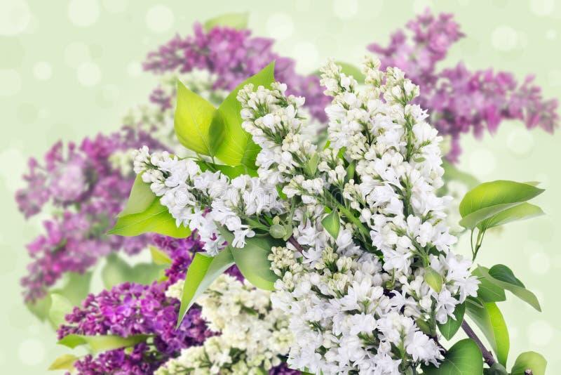 Vit och lilor,   lila bakgrund royaltyfri fotografi