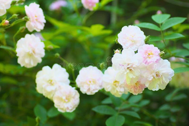 Vit och ljus - rosa färgrosblommor royaltyfri bild