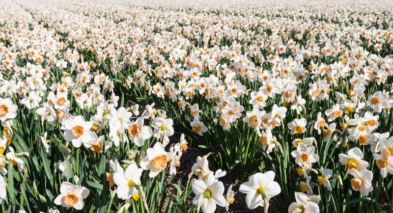 Vit och orange blommande påskliljor tidigt på morgonen royaltyfria bilder
