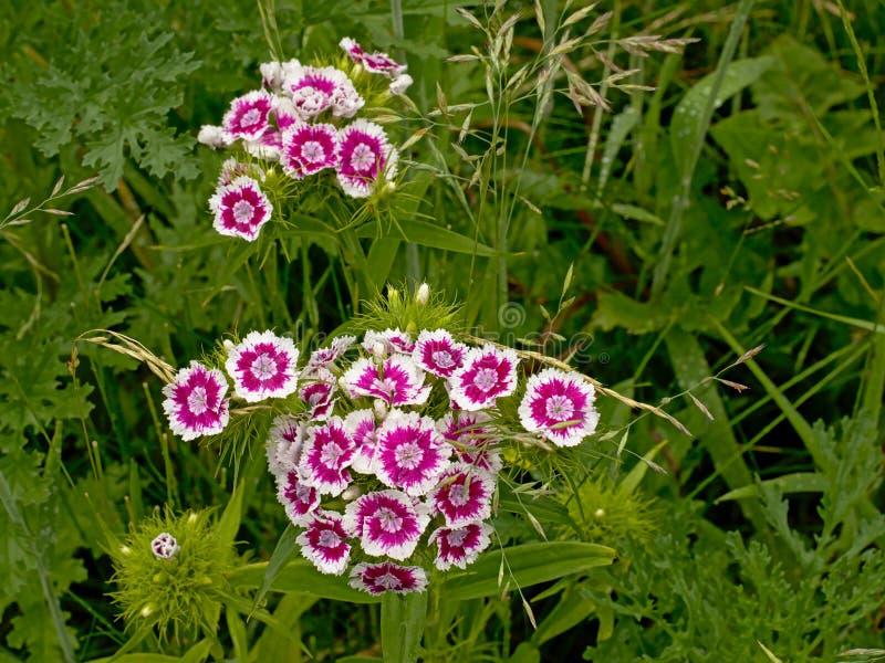 Vit och puple söta William blommar - Dianthusbarbatus royaltyfri foto