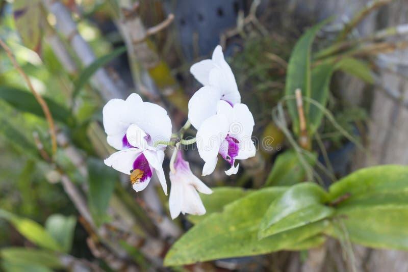 Vit och purpurfärgad bakgrund för natur för orkidéblomma på] royaltyfri fotografi