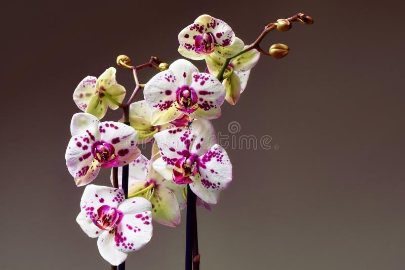 Vit och purpurfärgad blommande orkidé royaltyfri bild