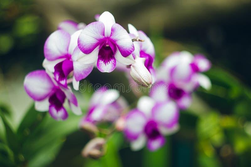 Vit och purpurfärgad orkidé i trädgård arkivbilder