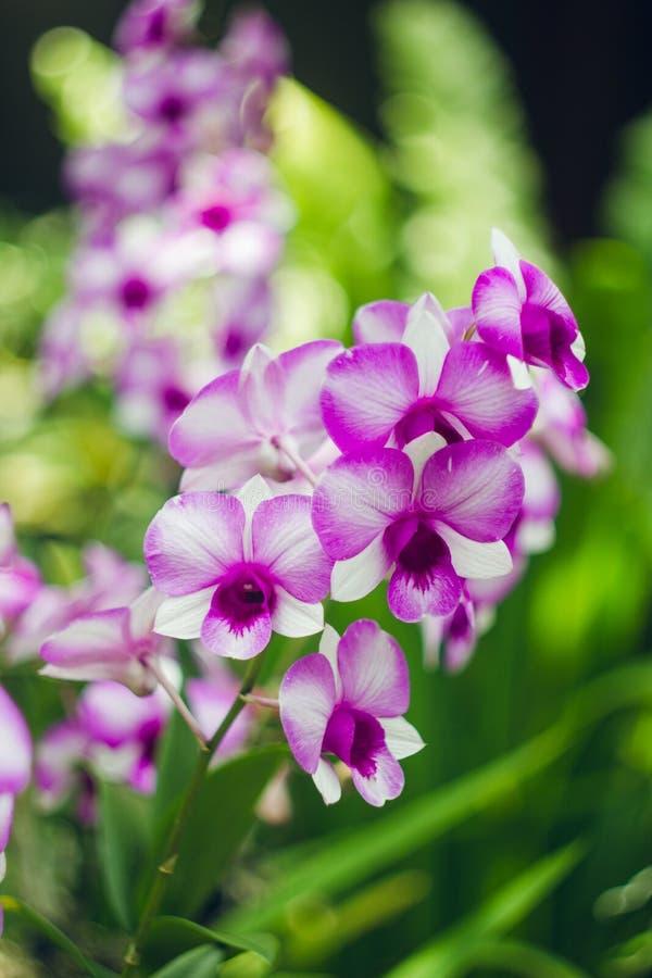 Vit och purpurfärgad orkidé i trädgård arkivfoton