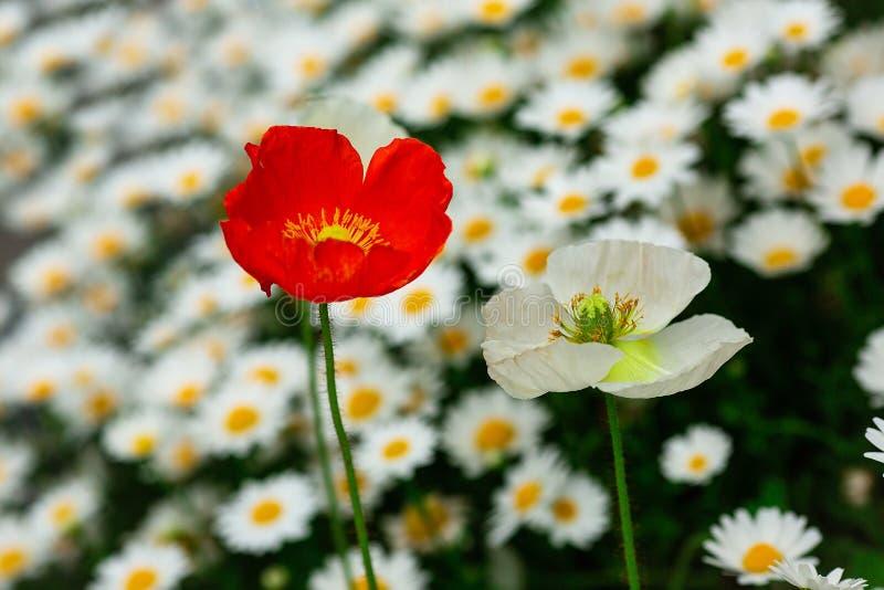 Vit och röd vallmo i ett fält av vita tusenskönor arkivbilder