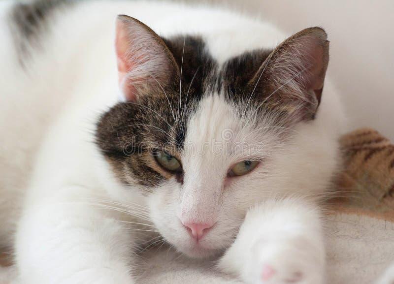 Vit och randig katt som ligger på säng royaltyfria bilder