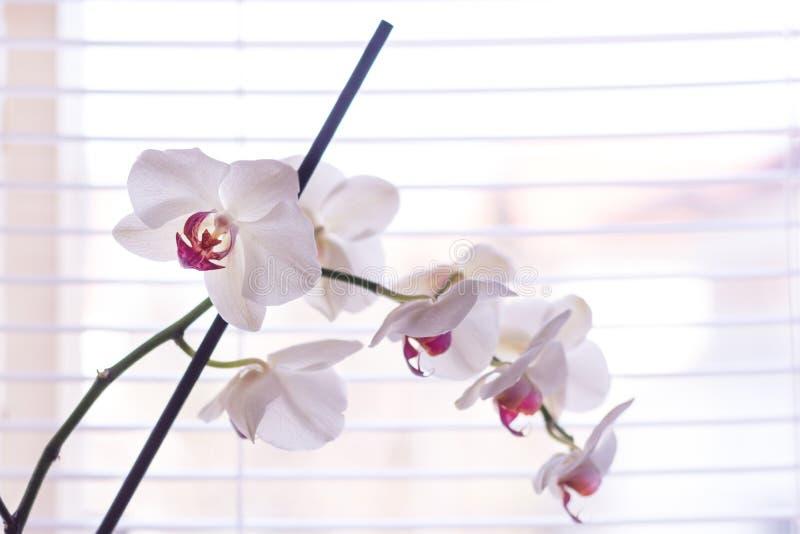 Vit och rosa blomma för Phalaenopsisorkidé framme av persienner på fönster hemma arkivfoto