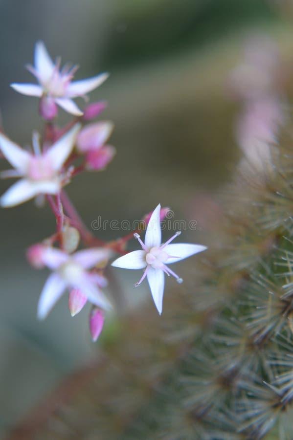 Vit och rosa mycket liten kaktusblomma fotografering för bildbyråer