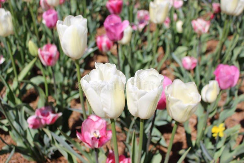 Vit och rosa tulpan på ett fält fotografering för bildbyråer