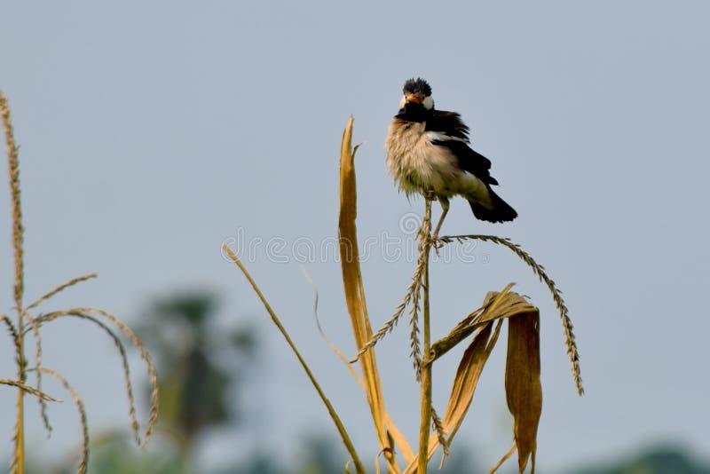 Vit och svart ilsken fågel för indisk maynamyna royaltyfria foton